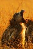 打呵欠狒狒的chacma 库存照片