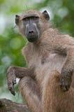坐和抓痒的chacma狒狒 免版税库存图片