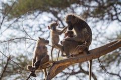 Chacma babian i den Kruger nationalparken, Sydafrika fotografering för bildbyråer