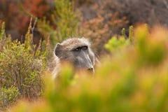 Chacma babian, papioursinus, Sydafrika Arkivfoto