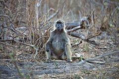 Chacma babian, Papioursinusgriseipes, i den Bwabwata nationalparken, Namibia Arkivfoton