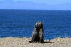 Chacma babianer på havet södra town för africa udd Arkivfoto