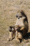 Chacma baboon. Sitting with her baby Stock Photo