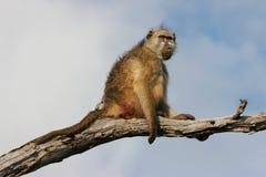 Chacma baboon. (Papio hamadryas ursinus) in a tree, Chobe National Park, Botswana, southern Africa royalty free stock photos