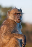 Chacma Baboon. Relaxing in Kruger National Park, South Africa Stock Image
