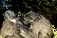Chacma Baboon Stock Images