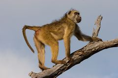Free Chacma Baboon Royalty Free Stock Photo - 2577365