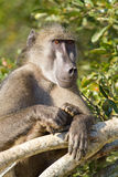 Chacma baboon Royalty Free Stock Photo