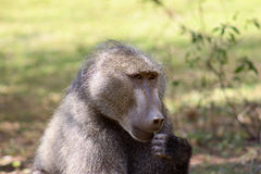Chacma baboon stock images