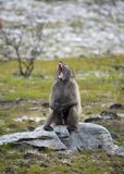 Chacma Baboon angry Stock Images