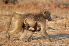 Chacma baboon with baby. Chacma baboon (Papio hamadryas) with suckling baby, Kruger National Park, South Africa stock photo