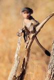 Chacma Baboon Baby Royalty Free Stock Photos