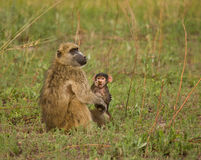 Chacma Baboon baby and leaf. Chacma Baboons (Papio cynocephalus ursinus) are very social, living in female-bonded groups of 4 to 100 individuals. Mothers are stock photos