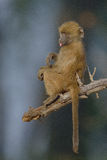 Sad looking Chacma Baboon Baby sitting in a tree Royalty Free Stock Photography