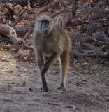 Chacma Baboon Royalty Free Stock Photos