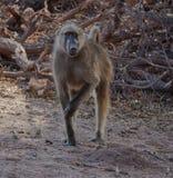 Chacma Baboon. A Chacma baboon in Botswana's Chobe National Park royalty free stock photos