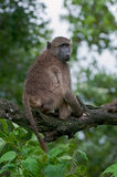 Chacma baboon on a branch. Chacma baboon relaxing on a branch in the African bush stock photos