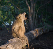 Chacma Baboon calling. Chacma Baboons (Papio cynocephalus ursinus) travel in large troops in the Okavango Delta because of the rich habitat stock image