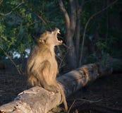 Chacma Baboon calling Stock Image