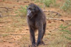 A Chacma baboon captured in Namibia royalty free stock photography