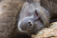 Chacma baboon closeup. Closeup look at a chacma baboon, Cape Town, South Africa Stock Image