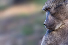 Chacma baboon closeup. Chacma baboon in natural habitat isolated against blurred background Stock Image