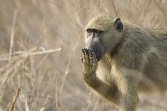 Chacma Baboon covering mouth, Botswana. Chacma Baboon (Papio ursinus) covering mouth with hand. Chobe National Park, Botswana Stock Photo
