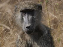 Baboon. Chacma baboon deep in thought Stock Image