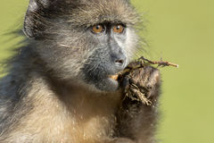 Chacma baboon Stock Photo