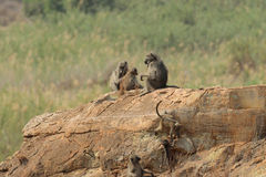 Chacma Baboon family Royalty Free Stock Images