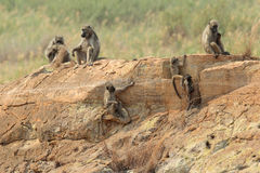 Chacma Baboon family Royalty Free Stock Image