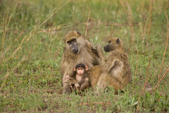 Chacma Baboon family group. Chacma Baboons (Papio cynocephalus ursinus) are very social, living in female-bonded groups of 4 to 100 individuals stock photography