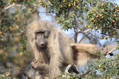 Chacma Baboon feeding Stock Photography