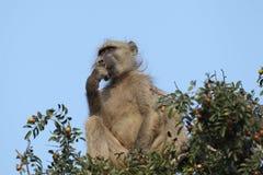 Chacma Baboon feeding Stock Image