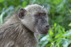 Chacma Baboon Royalty Free Stock Images