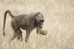 Chacma baboon foraging for food Royalty Free Stock Images