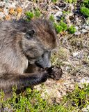 Chacma Baboon. A Chacma Baboon foraging in Southern Africa royalty free stock photos