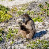 Chacma Baboon. A Chacma Baboon foraging in Southern Africa royalty free stock photo