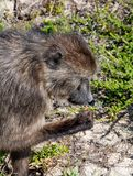 Chacma Baboon. A Chacma Baboon foraging in Southern Africa royalty free stock photography