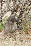 A chacma Baboon foraging under a thorn tree Stock Image