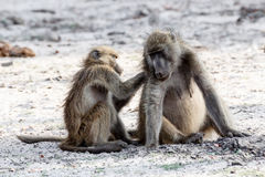 Chacma Baboon grooming. A chacma Baboon (Papio anubis), grooming, and socializing. Chobe National Park in Botswana royalty free stock photos
