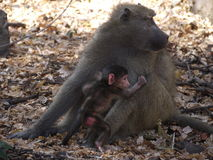Chacma baboon with infant. Chacma baboons (Papio ursinus) in Zambia Royalty Free Stock Images