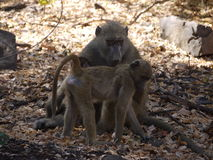 Chacma baboon with infant. Chacma baboons (Papio ursinus) in Zambia Stock Photos