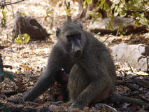 Chacma baboon with infant Stock Photos