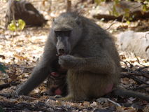 Chacma baboon with infant. Mother and infant chacma baboons (Papio ursinus) in Zambia Stock Images