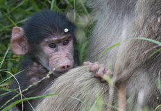 Chacma baboon with its mother Stock Photo