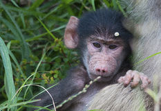 Chacma baboon with its mother Stock Images