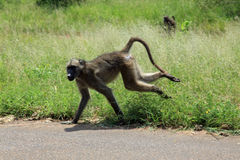 Chacma Baboon in Kroger National Park Stock Photography