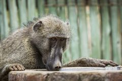Chacma baboon in Kruger National park, South Africa stock image