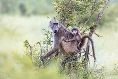 Chacma baboon in Kruger National park, South Africa. Chacma baboon mother carying her baby in Kruger National park, South Africa ; Specie Papio ursinus family of stock photography